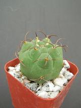 """SHIP From US, 2"""" pot Matucana madisoniorum, succulent plant cacti EC - $36.99"""