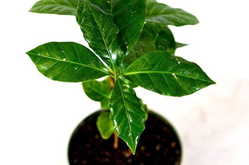 Primary image for Starter Plant Arabica Coffee Plant Gift Easy Holiday