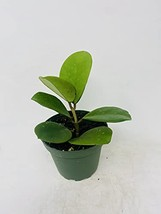 "Hoya Obovata Splash- Rare- Easy Care - 4"" Pot - $17.63"