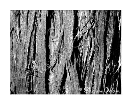 Ms 071 cedar tree b w web