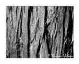 Ms 071 cedar tree b w web thumb155 crop