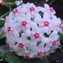 White Hoya Carnosa  Orchid Flower Seeds Series 100 Particles / lot - $7.99