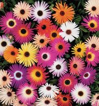 Ice Plant Seeds, Livingstone Daisy Seeds, Ground Cover Seeds, Bulk Daisi... - $10.19