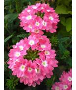 50 Verbena Rose Flower Seeds - $7.99