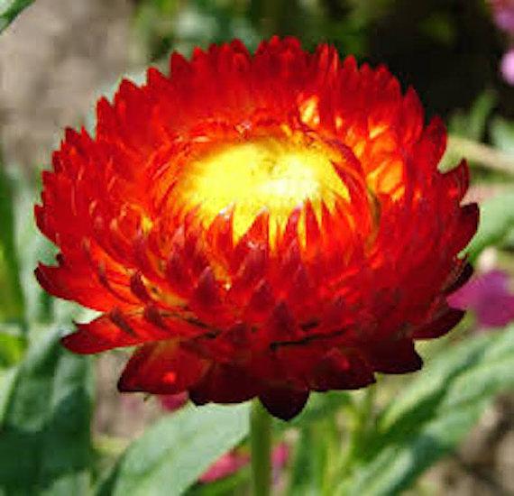 200 Strawflower Scarlet (Fireball) Flower Seeds - $7.99