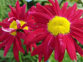 200 Red Chrysanthemum Robinson's Flower Seeds - $7.99