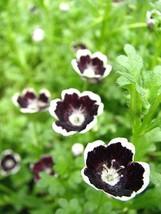 50 Black Pennie Flower Seeds - $7.99