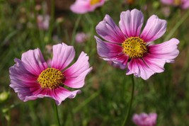 100 Cosmos Day Dream Flower Seeds - $7.99