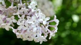 100 Soapwort (Saponaria) White - Flower Seeds - $7.99