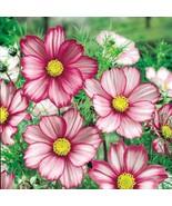 100 Mix Cosmos Picotee Flower Seeds - $4.59