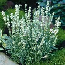 SHIP FROM US 20 Lavender Ellagance Ice Flower (Lavandula Angustifolia), ... - $19.98