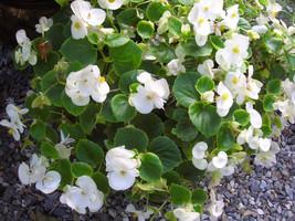 50 White Begonia Flower Seeds - $7.99