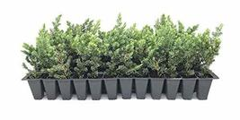 "Juniper Blue Pacific - 30 Live Plants - 2"" Pot Size - Evergreen Ground Cover 'Sh - $92.98"