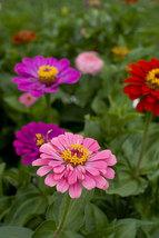 100 Mix Zinnia Lilliput Flower Seeds - $7.99