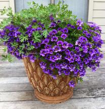 100 Purple Nierembergia Flower Seeds - $7.99