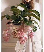 100pcs Medinilla Magnifica Plant Very Exotic Bonsai Flower Seeds IMA1 - $14.99