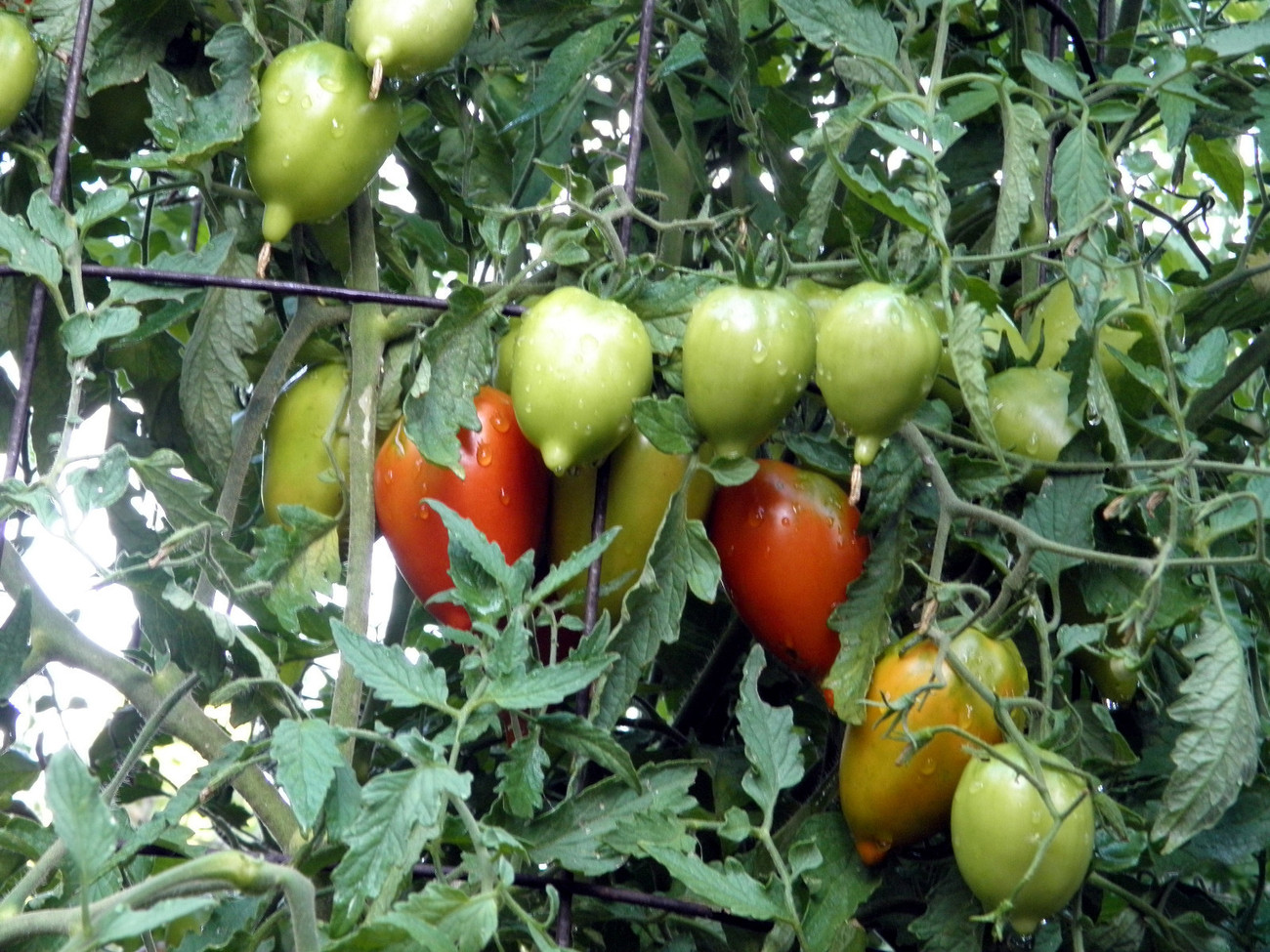 Legenda Tarasenko tomato - unusual torpedo-shaped fruit with magnificient flavor