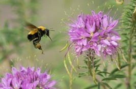 100+ROCKY Mountain Bee Plant Seeds American Native Wildflower Butterflies Bee's - $2.50