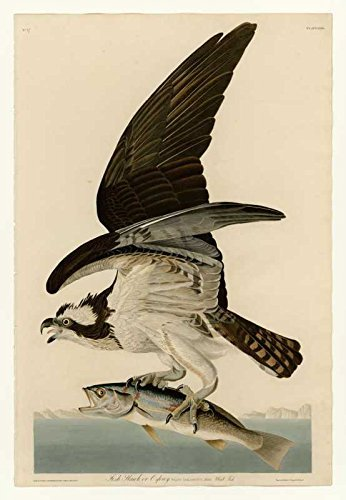 100% Hand Painted Oil on Canvas - Audubon - Fish Hawk or Osprey Plate 81 - 20...