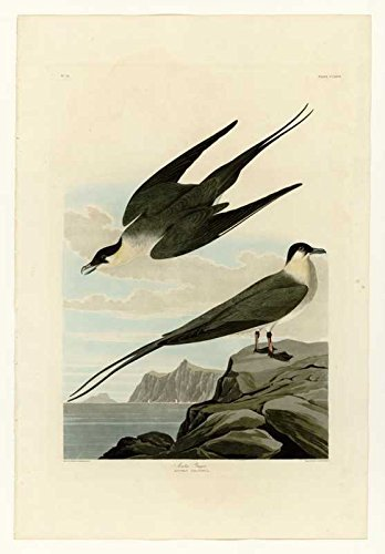 100% Hand Painted Oil on Canvas - Audubon - Arctic Yager - Plate 267 - 30x40 ...