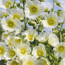 8 Halo White Special Bred Hollyhock Flower Seeds - $6.25