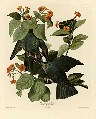 100% Hand Painted Oil on Canvas - Audubon - White-crowned Pigeon - Plate 177 ...