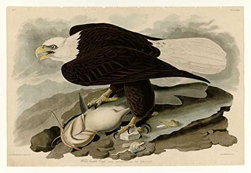100% Hand Painted Oil on Canvas - Audubon - White-headed Eagle - Plate 31 - 2...