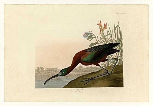 100% Hand Painted Oil on Canvas - Audubon - Glossy Ibis - Plate 387 - 24x36 Inch