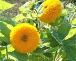 Sunflower  teddy bear2 thumb155 crop