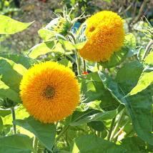 20 Sunflower Teddy Bear Flower Seeds - $7.99