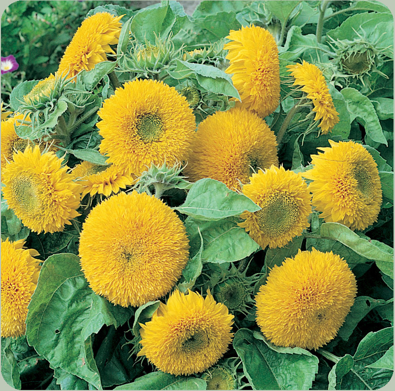 20 Sunflower Teddy Bear Flower Seeds