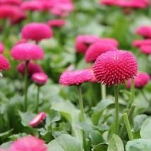 English Daisy Rose Flower Seeds (Bellis Perennis) 200+Seeds - $5.43+