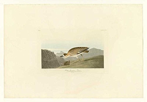 100% Hand Painted Oil on Canvas - Audubon - Rocky Mountain Plover - Plate 350...