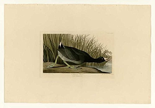100% Hand Painted Oil on Canvas - Audubon - American Coot - Plate 239 - 24x36...
