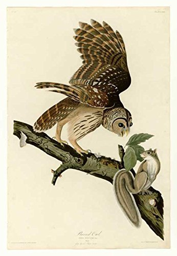 100% Hand Painted Oil on Canvas - Audubon - Barred Owl - Plate 46 - 24x36 Inch