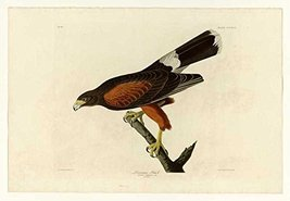100% Hand Painted Oil on Canvas - Audubon - Louisiana Hawk - Plate 392 -... - $315.81