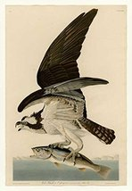 100% Hand Painted Oil on Canvas - Audubon - Fish Hawk or Osprey Plate 81 - 24... - $315.81