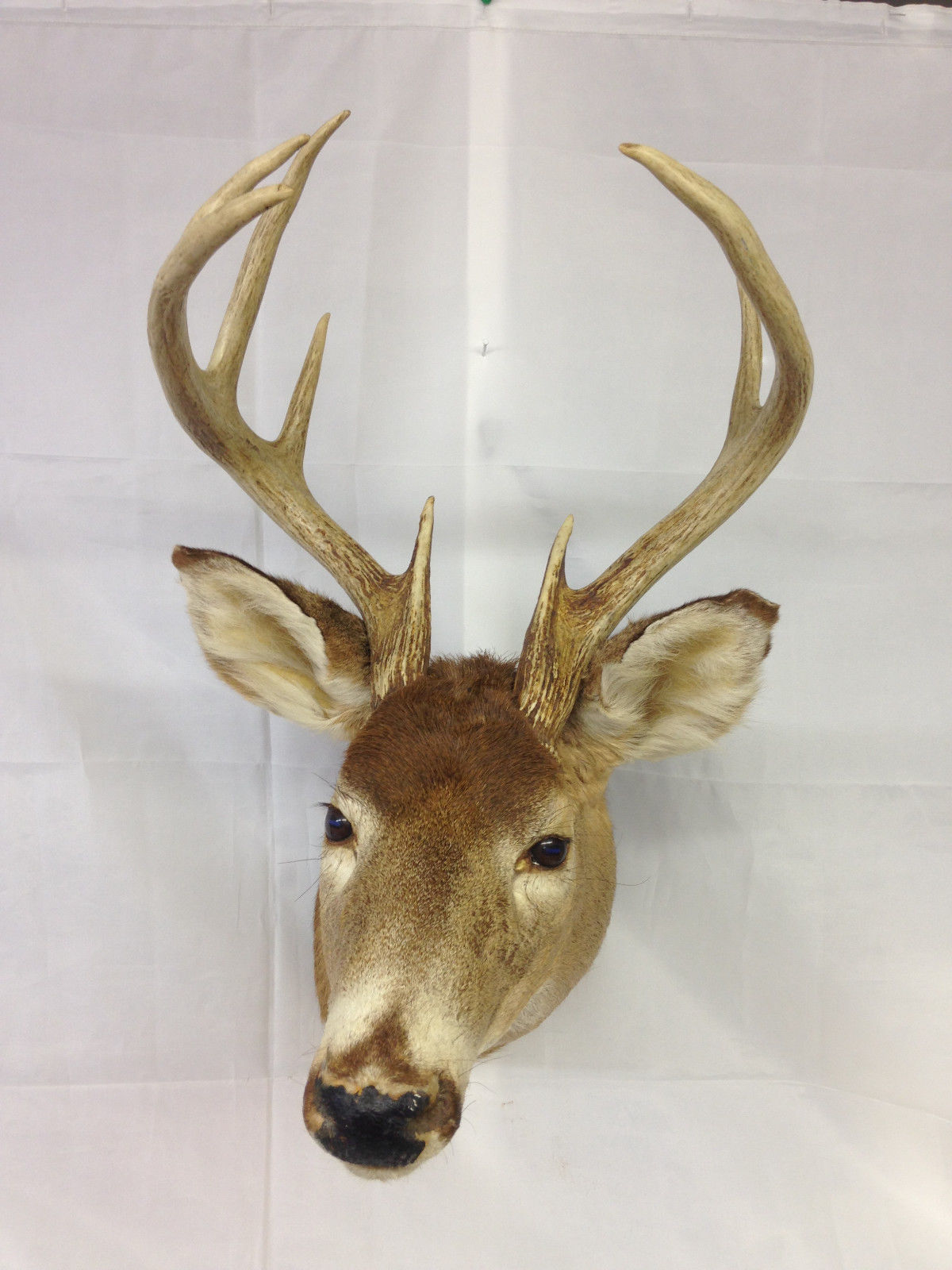 Primary image for 8 Point Whitetail Deer Mount Buck Taxidermy Trophy Shoulder Tines Rack {#34}