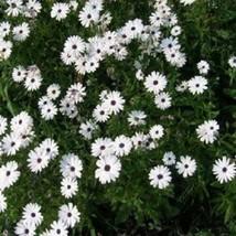 African Daisy White Flower 100 Seeds #MBG02  - $16.17