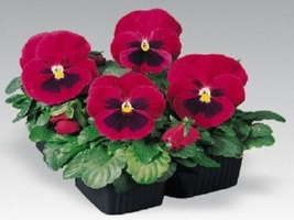 150 FLOWER SEEDS Pansy Seeds Inspire Carmine With Blotch - Yard Outdoor Living  - $55.99
