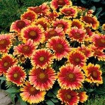 100 Blanket Flower- Gaillerdia Flower Seeds - $7.99
