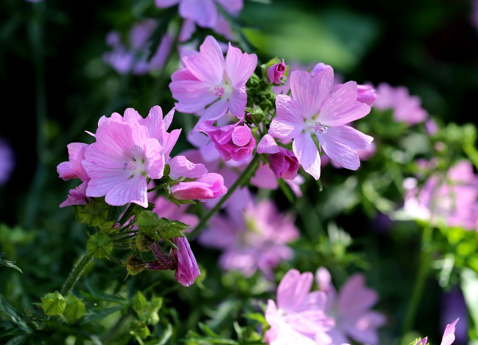 Primary image for 100 Malva Moschata Rosea Flower Seeds