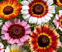 Heirloom Chrysanthemum polar star flower seeds - $3.99