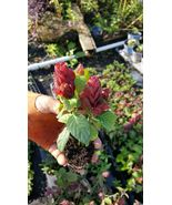 RED MAROON SHRIMP PLANTS LIVE PLANTS~JUSTICIA BRANDEGEANA~5 TO 7 INCHES ... - $29.99
