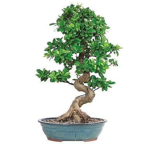 Primary image for  14 Years Bonsai Grafted Ficus Tree Hooseplan or Garden Rich Green