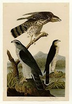 100% Hand Painted Oil on Canvas - Audubon - Stanley Hawk - Plate 141 - 2... - $315.81