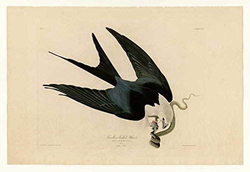 100% Hand Painted Oil on Canvas - Audubon - Swallow-tailed Hawk - Plate 72 - ...