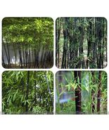 30 Seeds Dendrocalamus latiflorus Bamboo green with yellow strip 100% Ge... - $4.26