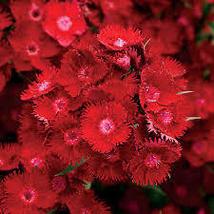 10 Pcs Seeds Rockin' Red Dianthus Seeds – Perennial HH01 - $15.99