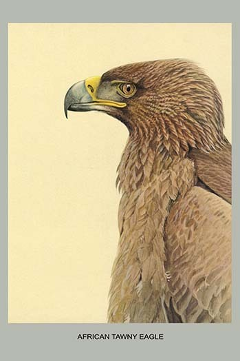 Primary image for African Tawny Eagle by Louis Agassiz Fuertes - Art Print